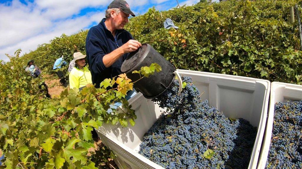 Druivenpluk op een wijngaard in Adelaide, Australië