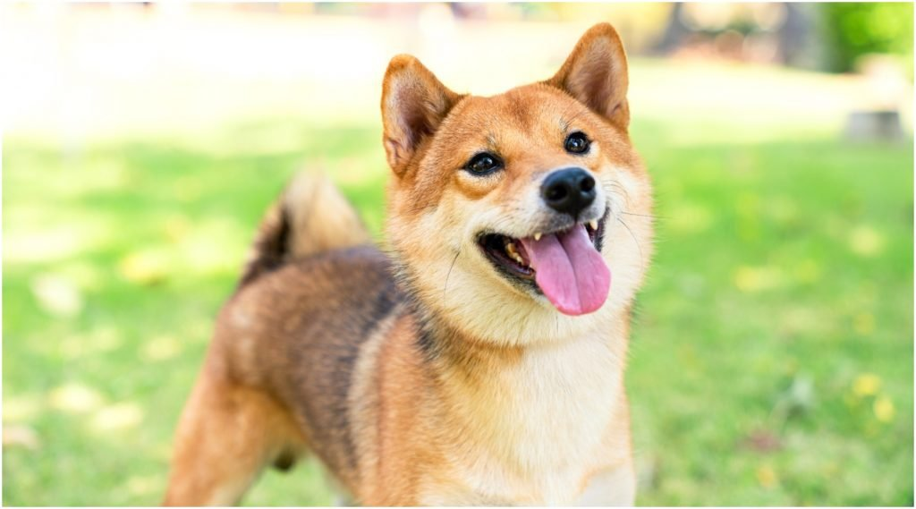 Een schattige Shiba Inu, het hondje dat zijn imago leent aan verschillende mememunten